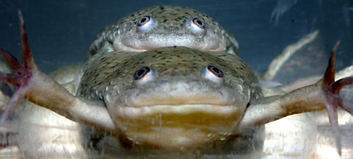 atrazine-turns-male-frogs-into-females