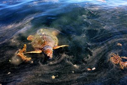 sea-turtle-in-the-gulf