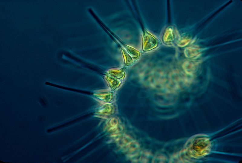 phytoplankton-the_foundation_of_the_oceanic_food_chain