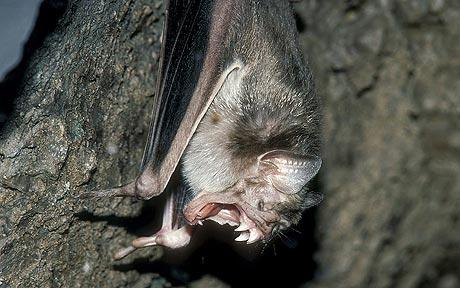 rabid-vampire-bats-attack-500-people