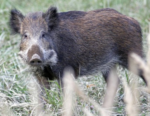 radioactive-boars-on-loose-in-germany