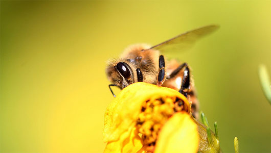 Bees-Pesticides