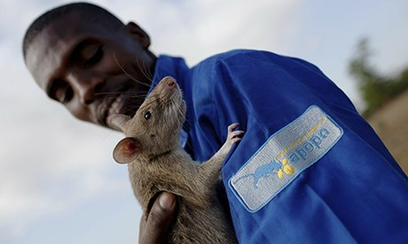 MDG : A baby giant African pouch rat is handled by its trainer