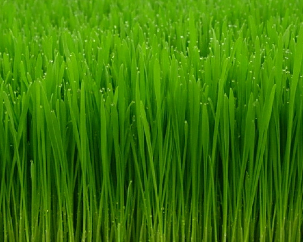 Wheatgrass Pictures 40