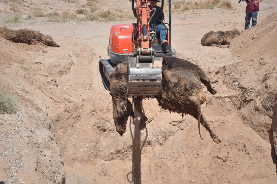 Bundy Family Uncovers New BLM Cattle Grave