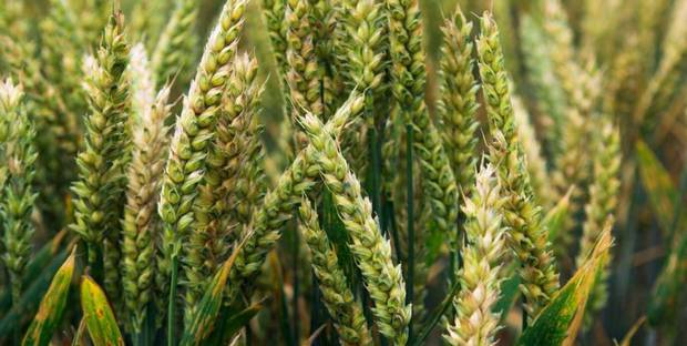 Wheat-rust