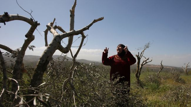 Israeli military is to uproot hundreds of Palestinian olive trees