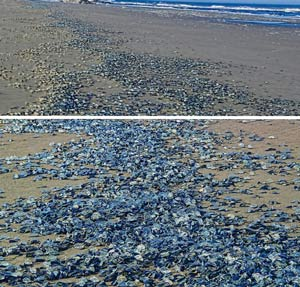 Mounds of millions of jellyfish-like creatures wash up on Pacific beaches across multiple states
