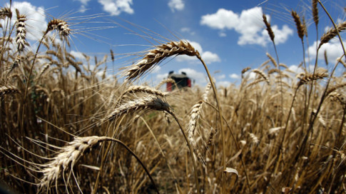 monsanto-wheat-montana-gmo