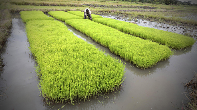 A man works in a rice field in Nanan