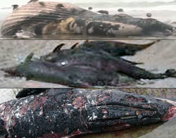 Whales-Dolphins-DEAD