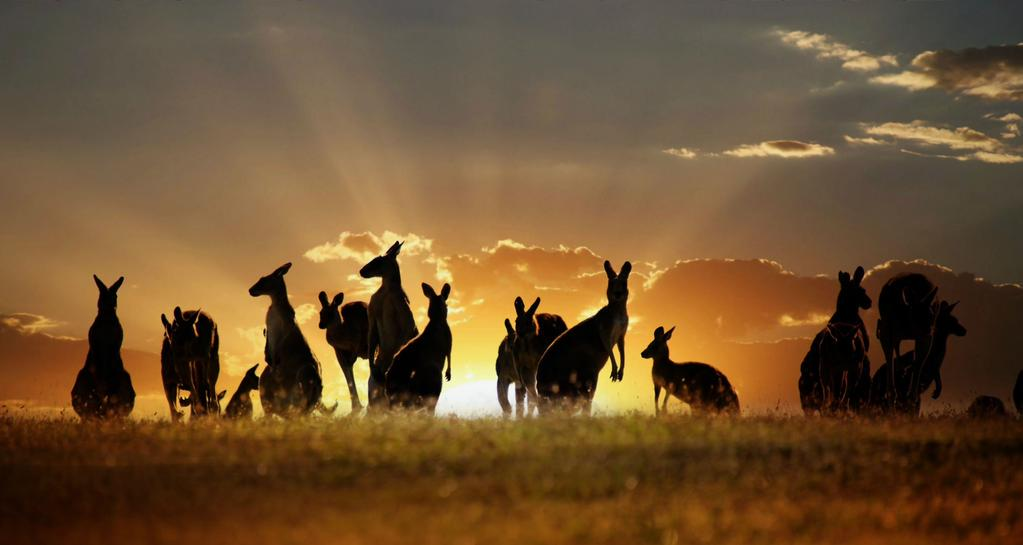Kangaroo-sunset