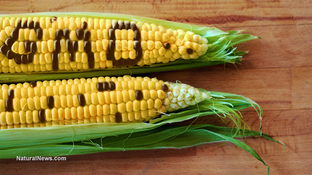 GMO-Concept-Corn-Spelled-Out-Husk