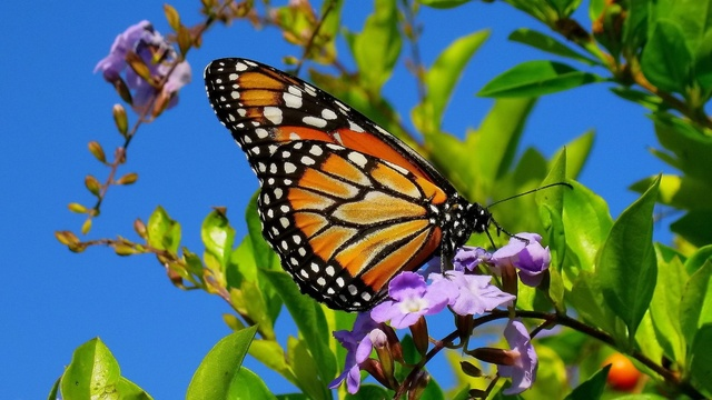 monarch-butterfly-1