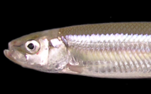 3-Cs-134137-detected-from-9-of-9-pond-smelt-samples-from-Gunma