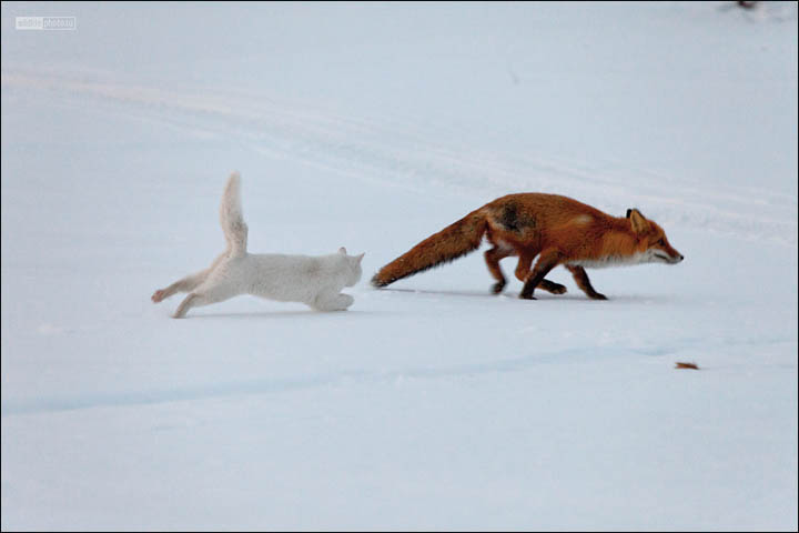 inside cat chases fox