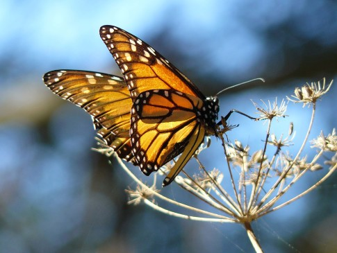 Monarch_Butterfly_resting_on_fennel_at_the_Pismo_Butterfly_Grove_California