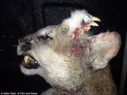 A mountain lion with a second set of teeth growing out of its head has been killed in Idaho