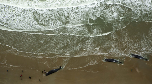Dead sperm whales are seen on a beach on Texel Island, The Netherlands, January 13, 2016