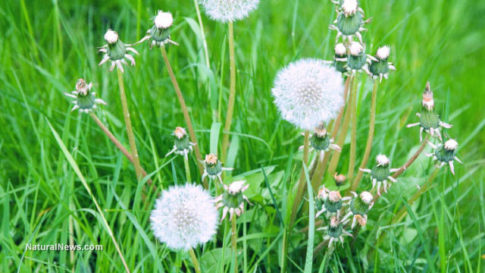 Dandelion-Flowers-Plant-Nature