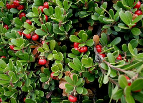 Bearberry-uva-ursi