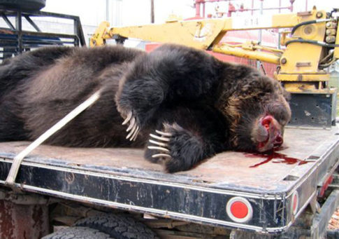 The Unbearable Killing of Yellowstones Grizzlies