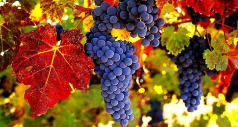 wine-grapes-autumn