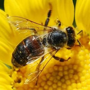 honey-bee-9808