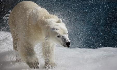 a-polar-bear-shakes-his-body