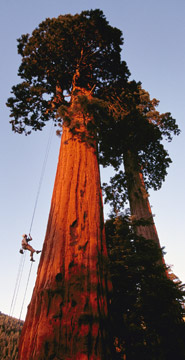 redwood-tree