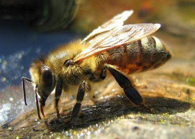 honeybee-908