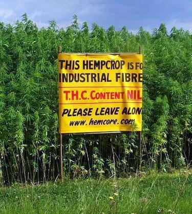 industrial-thc-free-hemp-crop-photo