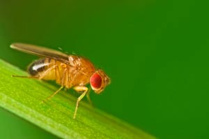 scientists-create-false-memories-in-fruit-flies