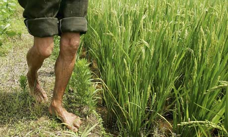 greenpeace_gm-rice-contamination-in-chinas-emergency-grain-stores