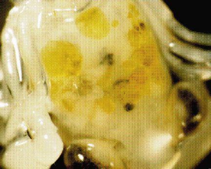 crab-larvae-oil-corexit