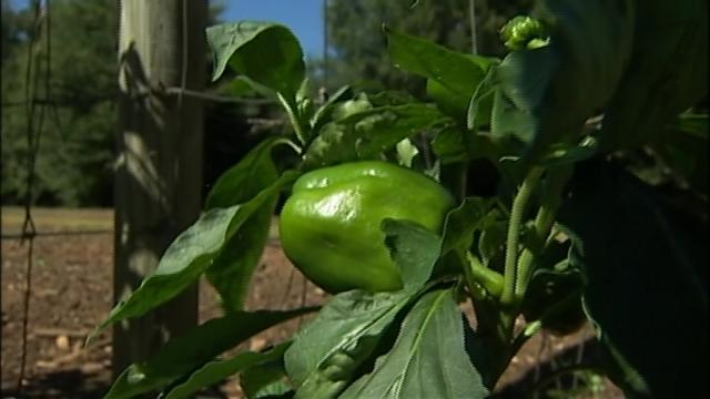 cabbagegate_county-sues-local-farmer-for-growing-too-many-vegetables