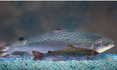 gm-salmon-nears-us-approval