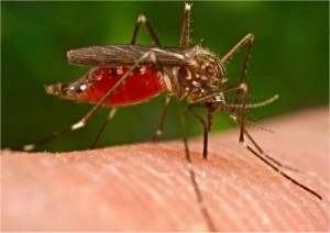 GMO-mosquitoes-released-into-the-wild