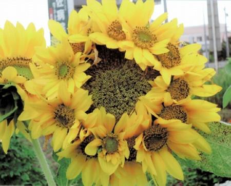 Radioactive Japan Mutated Sunflower Photo