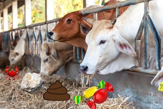 cows-at-trough