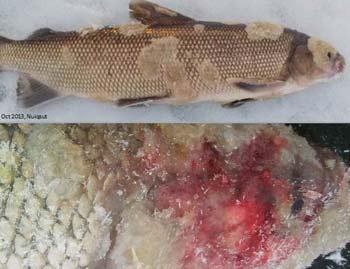 Alaska Salmon - Fukushima
