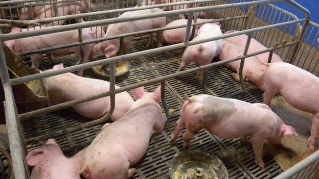 pigs-1234