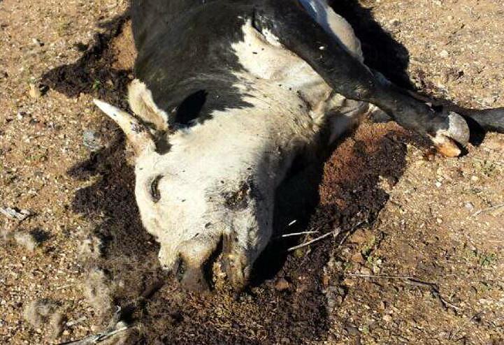 1-Bundy-cattle-BLM-slaughter-Bunkerville-PETA