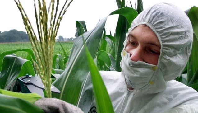 Italian Court Upholds Ban on Monsanto MON810 Corn Cultivation