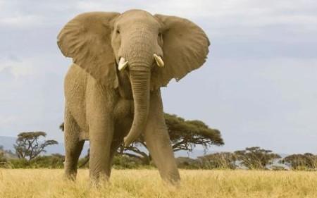 bull-elephant