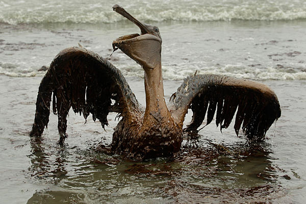 gulf-oil-spill-pelican_full_600