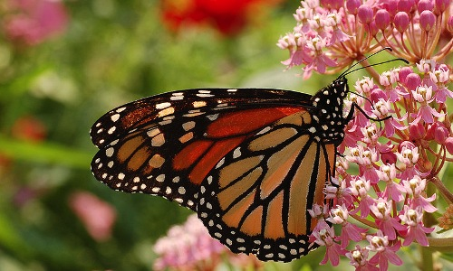 monarch-butterfly