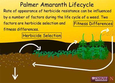 Palmer-Amaranth-Lifecycle