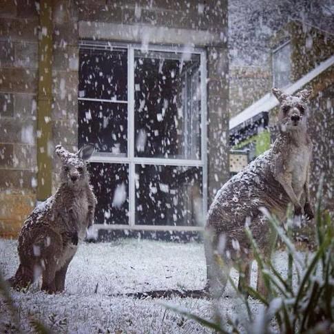 Kangaroos-snow