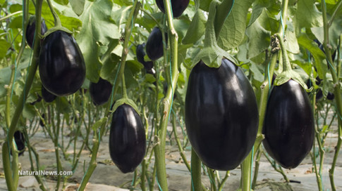 Eggplant-Farm-Crop-Vine
